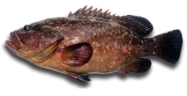 Aigeira - Activities - Fishing - White grouper