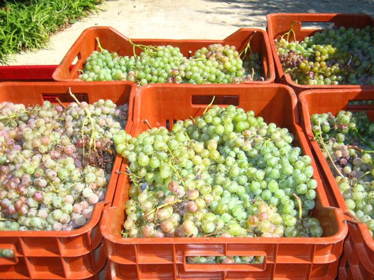 Aigeira - Roditis (Rhoditis) staple grape variety of the Peloponnese from the Greek wine region of Achaia.