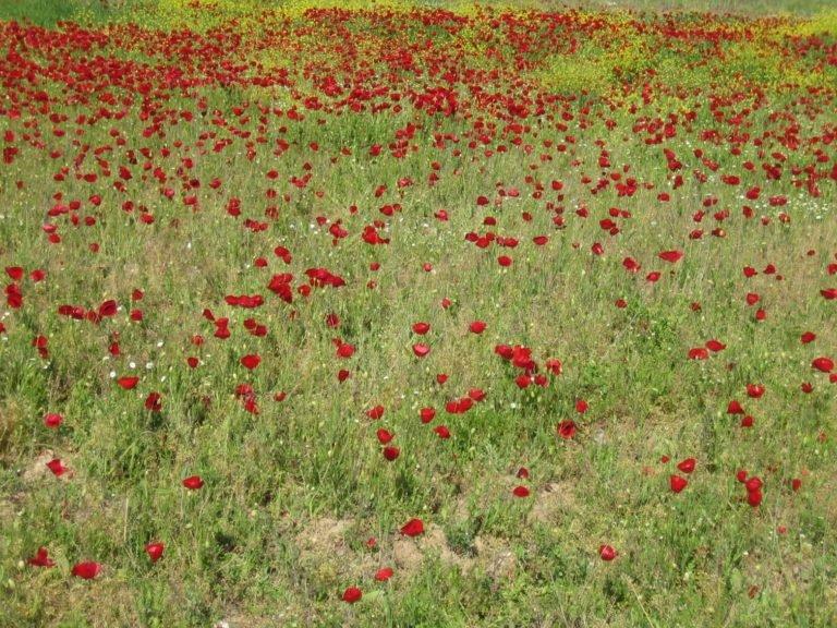 Aigeira - Poppy field