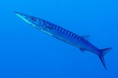 Aigeira - Activities - Fishing - Mediterranean barracuda