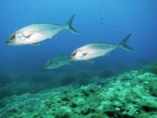 Aigeira - Activities - Fishing - Greater-amberjack-seriola