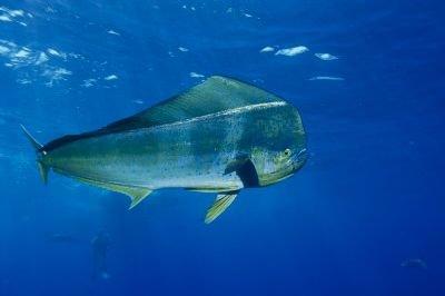Aigeira - Activities - Fishing - Mahi-mahi-dorado-Dolphinfish
